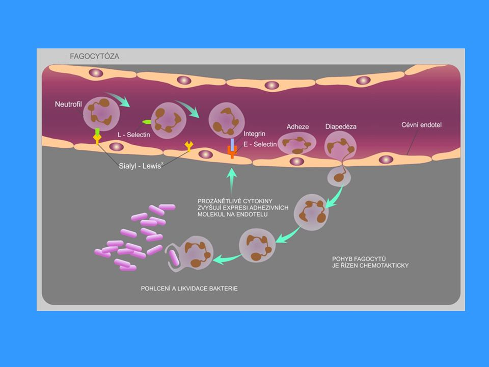 Obrana proti mnohobuněčným parazitům  mastocyty, bazofily, eosinofily a IgE  stimulace T H 2 pod vlivem IL-4 (mastocyty a další APC stimulované parazitem)  T H 2 stimulují B lymfocyty s BCR specifickým pro parazitární antigeny  pod vlivem IL-4 izotypový přesmyk v IgE