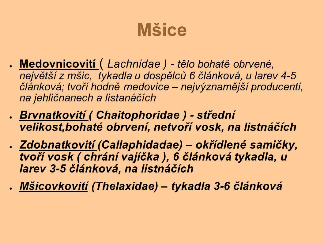 Mšice ● Medovnicovití ( Lachnidae ) - tělo bohatě obrvené, největší z mšic, tykadla u dospělců 6 článková, u larev 4-5 článková; tvoří hodně medovice