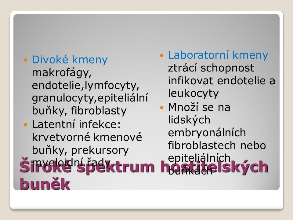 Široké spektrum hostitelských buněk Divoké kmeny makrofágy, endotelie,lymfocyty, granulocyty,epiteliální buňky, fibroblasty Latentní infekce: krvetvor