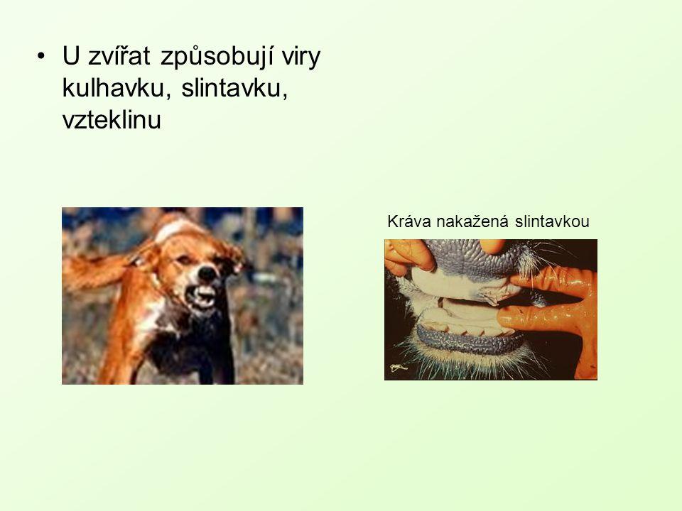 U zvířat způsobují viry kulhavku, slintavku, vzteklinu Kráva nakažená slintavkou