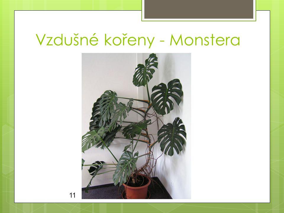 Vzdušné kořeny - Monstera 11