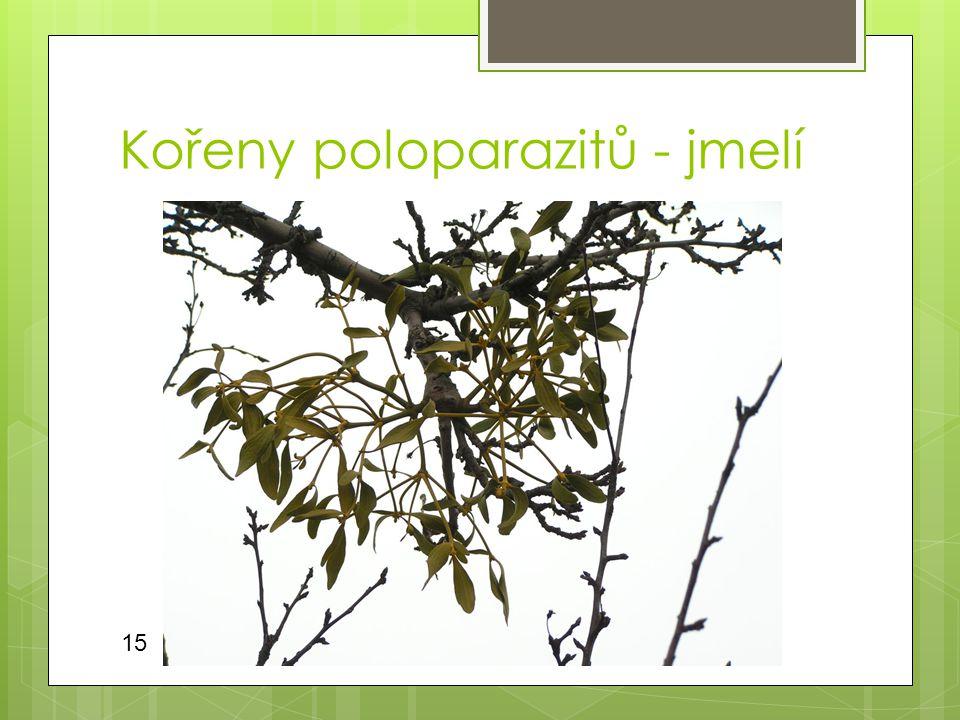 Kořeny poloparazitů - jmelí 15