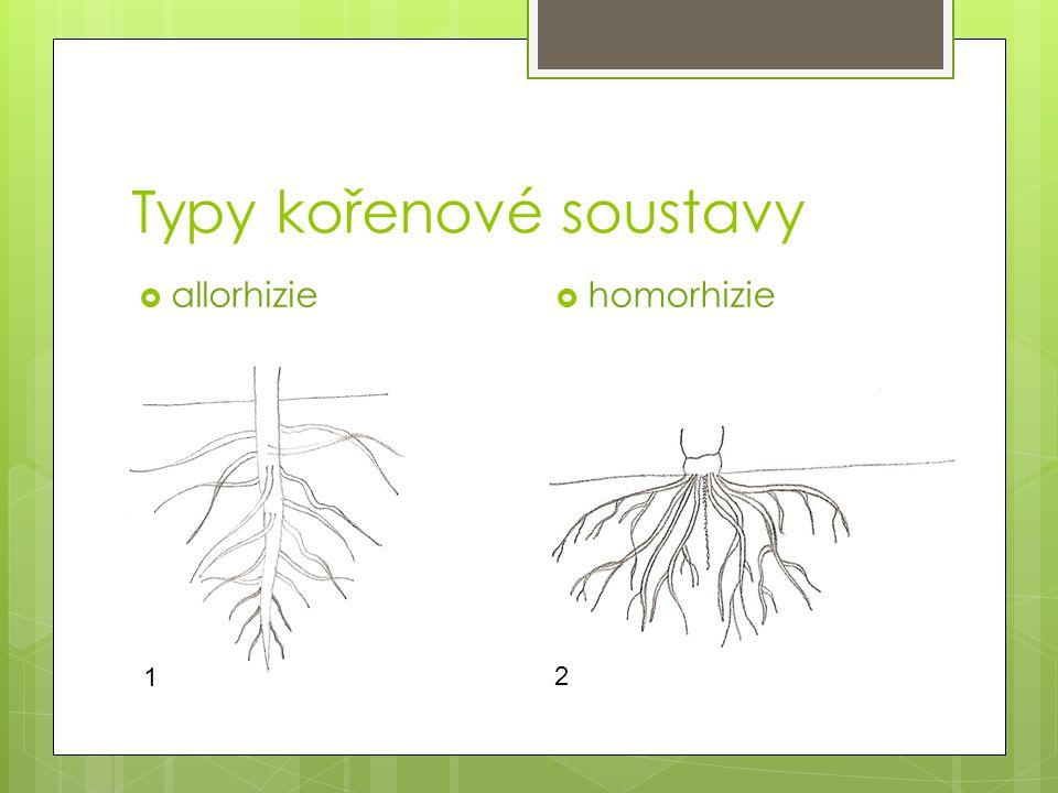 Typy kořenové soustavy  homorhizie  allorhizie 1 2