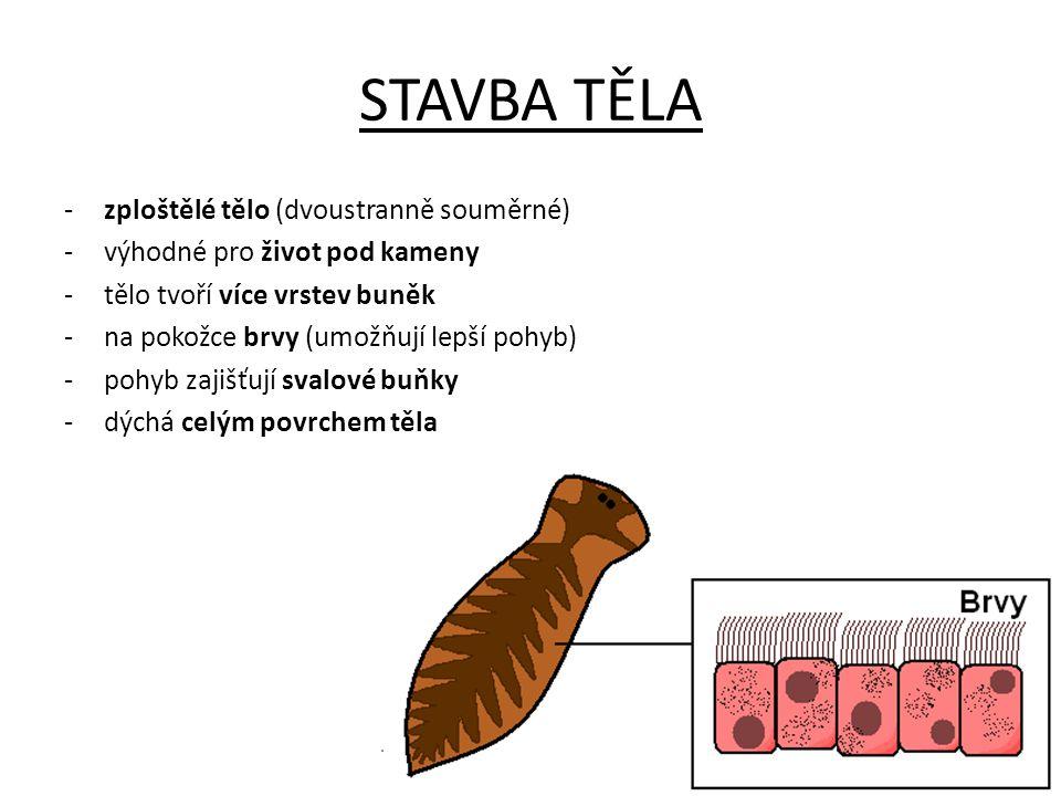STAVBA TĚLA -zploštělé tělo (dvoustranně souměrné) -výhodné pro život pod kameny -tělo tvoří více vrstev buněk -na pokožce brvy (umožňují lepší pohyb) -pohyb zajišťují svalové buňky -dýchá celým povrchem těla