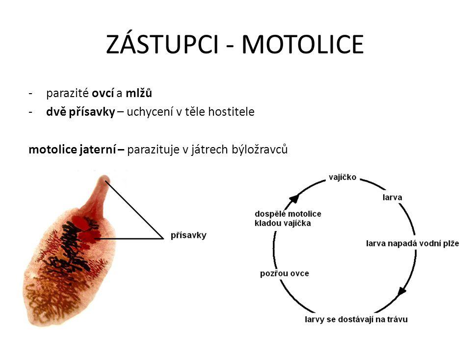 ZÁSTUPCI - TASEMNICE -parazitují ve střevech savců (i člověka) -na hlavě se nachází čtyři přísavky (přichycení ve střevech) -tělo je článkované (až 10 metrů dlouhé) -v posledních článcích vajíčka (odtrhávají se – ve výkalech) -přijímá potravu celým povrchem těla boubel – odolný váček s vajíčky (maso se musí řádně propéct !!)