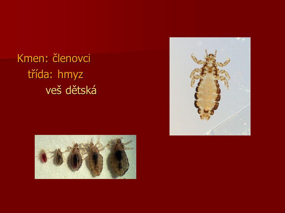 Celý svůj vývin prodělává na lidském těle Celý svůj vývin prodělává na lidském těle Dospělá 2-4mm, larva 1mm Dospělá 2-4mm, larva 1mm Proměna nedokonalá: Proměna nedokonalá: –Vajíčka = hnidy – dospělec přilepuje na vlasy –Larvy i dospělci se živí krví a mohou přenášet různé choroby Samička klade denně 3-4 vajíčka, žije 3 týdny Samička klade denně 3-4 vajíčka, žije 3 týdny Po 5-10 dnech se vylíhnou larvy a z nich po 20 dnech dospělé vši Po 5-10 dnech se vylíhnou larvy a z nich po 20 dnech dospělé vši Mimo tělo přežívání 24-48 hodin Mimo tělo přežívání 24-48 hodin