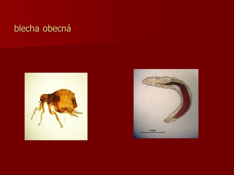 Dospělec dorůstá 2- 8mm Dospělec dorůstá 2- 8mm Proměna je dokonalá, nohy má uzpůsobeny ke skákání, dospělci se živí sáním krve na teplokrevných obratlovcích Proměna je dokonalá, nohy má uzpůsobeny ke skákání, dospělci se živí sáním krve na teplokrevných obratlovcích Samička naklade 400 kusů vajíček po 4-8 kusech, z vajíčka se vylíhne po 4-12 dnech bílá beznohá slepá larva, larva se živí organickým odpadem většinou mimo hostitele, zakuklí se a vylíhlý dospělec napadá kořist Samička naklade 400 kusů vajíček po 4-8 kusech, z vajíčka se vylíhne po 4-12 dnech bílá beznohá slepá larva, larva se živí organickým odpadem většinou mimo hostitele, zakuklí se a vylíhlý dospělec napadá kořist Vývin trvá průměrně 4-6 týdnů Vývin trvá průměrně 4-6 týdnů Cizopasníkem člověka se stala po ochočení psa Cizopasníkem člověka se stala po ochočení psa Přenáší krví choroby Přenáší krví choroby Další druhy blech – blecha morová, psí, kočičí, písečná Další druhy blech – blecha morová, psí, kočičí, písečná