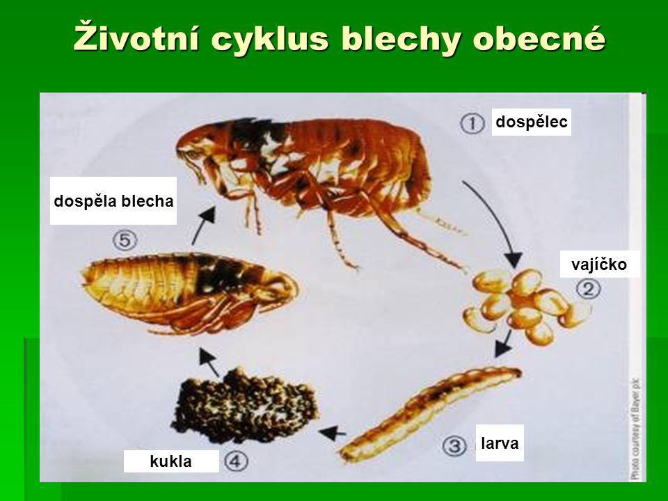Životní cyklus blechy obecné dospělec vajíčko larva kukla dospěla blecha