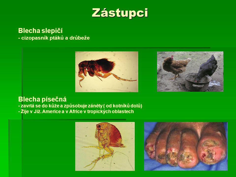 Zástupci Blecha slepičí - cizopasník ptáků a drůbeže Blecha písečná - zavrtá se do kůže a způsobuje záněty ( od kotníků dolů) - Žije v Již. Americe a