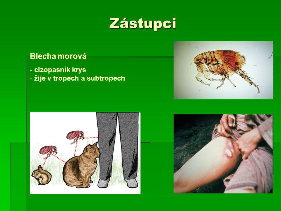 Zástupci Blecha morová - cizopasník krys - žije v tropech a subtropech