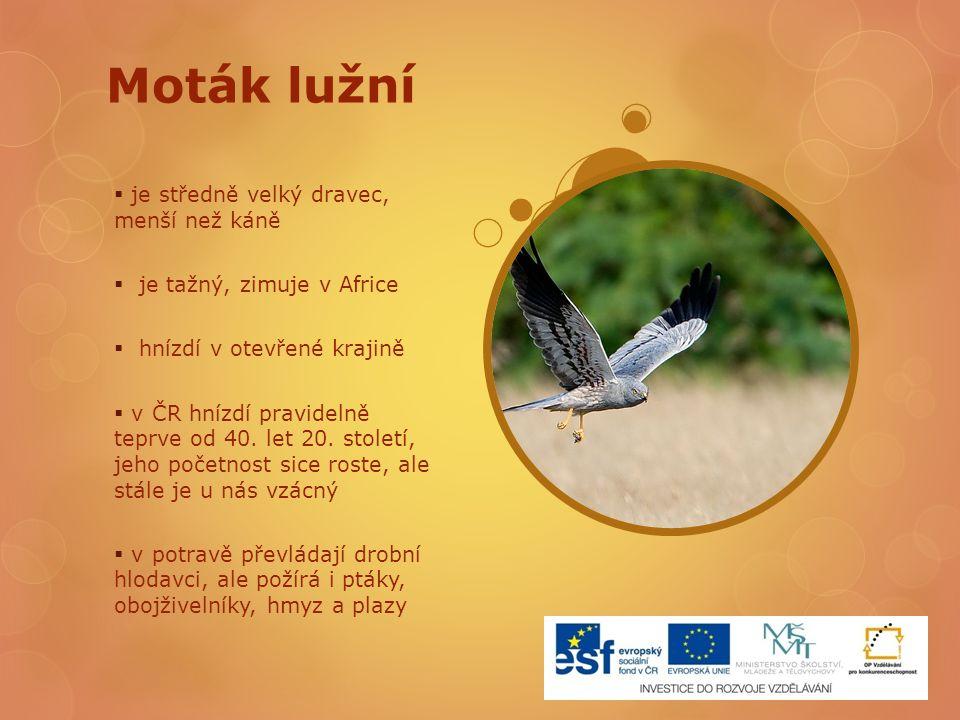 Moták lužní  je středně velký dravec, menší než káně  je tažný, zimuje v Africe  hnízdí v otevřené krajině  v ČR hnízdí pravidelně teprve od 40. l