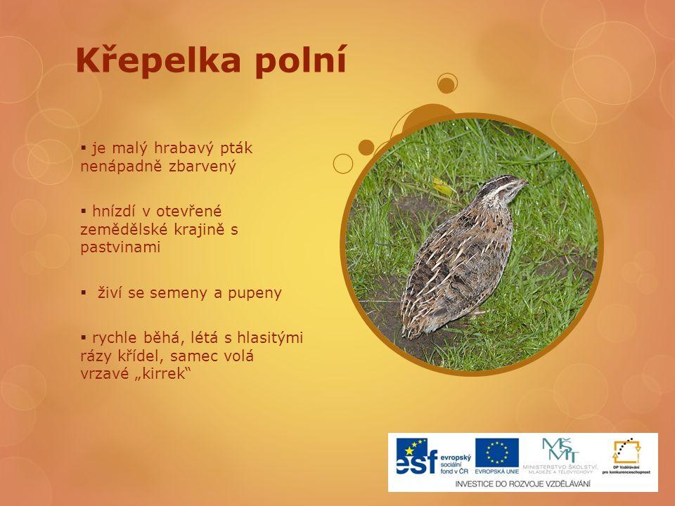 Křepelka polní  je malý hrabavý pták nenápadně zbarvený  hnízdí v otevřené zemědělské krajině s pastvinami  živí se semeny a pupeny  rychle běhá,