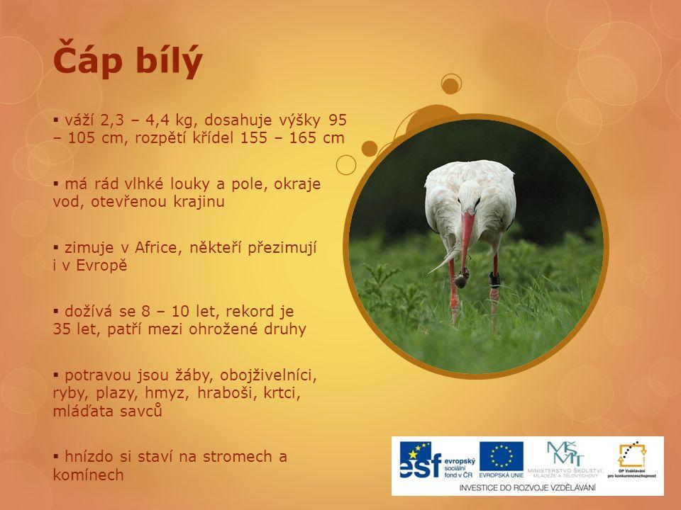 Čáp bílý  váží 2,3 – 4,4 kg, dosahuje výšky 95 – 105 cm, rozpětí křídel 155 – 165 cm  má rád vlhké louky a pole, okraje vod, otevřenou krajinu  zim