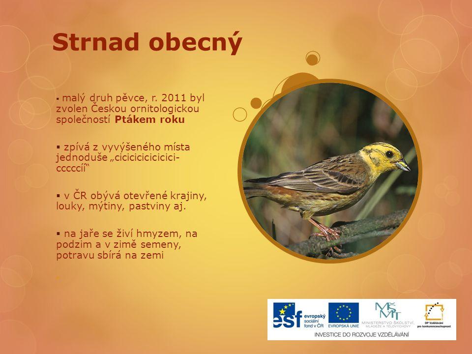 """Strnad obecný  malý druh pěvce, r. 2011 byl zvolen Českou ornitologickou společností Ptákem roku  zpívá z vyvýšeného místa jednoduše """"cicicicicicici"""