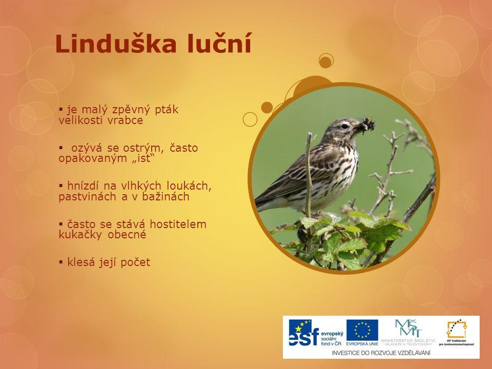 """Linduška luční  je malý zpěvný pták velikosti vrabce  ozývá se ostrým, často opakovaným """"ist""""  hnízdí na vlhkých loukách, pastvinách a v bažinách """