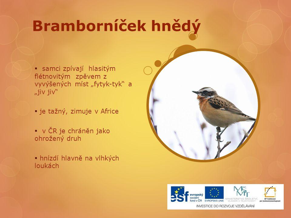 """Bramborníček hnědý  samci zpívají hlasitým flétnovitým zpěvem z vyvýšených míst """"fytyk-tyk"""" a """"jiv jiv""""  je tažný, zimuje v Africe  v ČR je chráněn"""