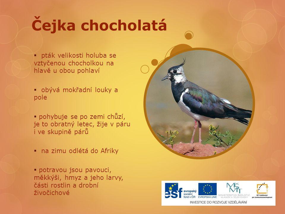Čejka chocholatá  pták velikosti holuba se vztyčenou chocholkou na hlavě u obou pohlaví  obývá mokřadní louky a pole  pohybuje se po zemi chůzí, je
