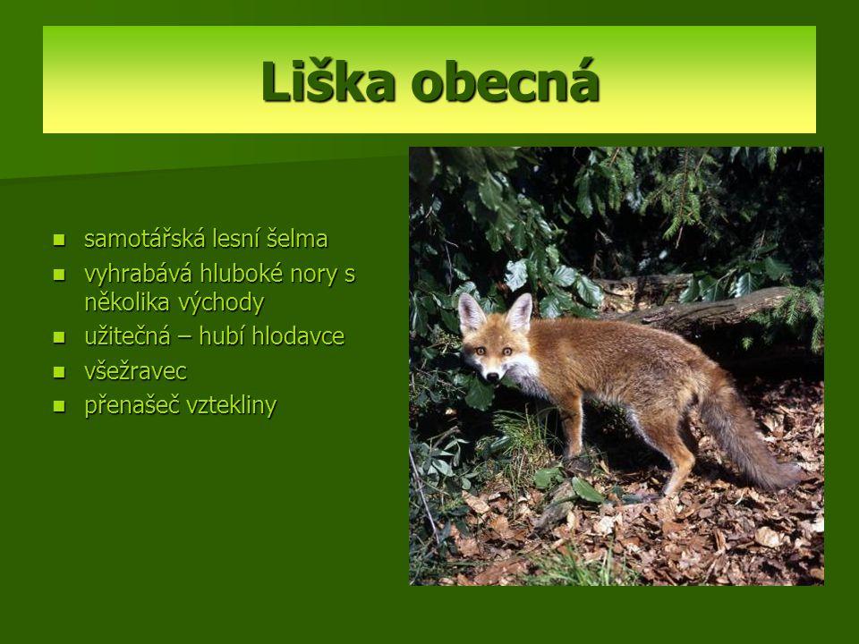 Liška obecná samotářská lesní šelma vyhrabává hluboké nory s několika východy užitečná – hubí hlodavce všežravec přenašeč vztekliny
