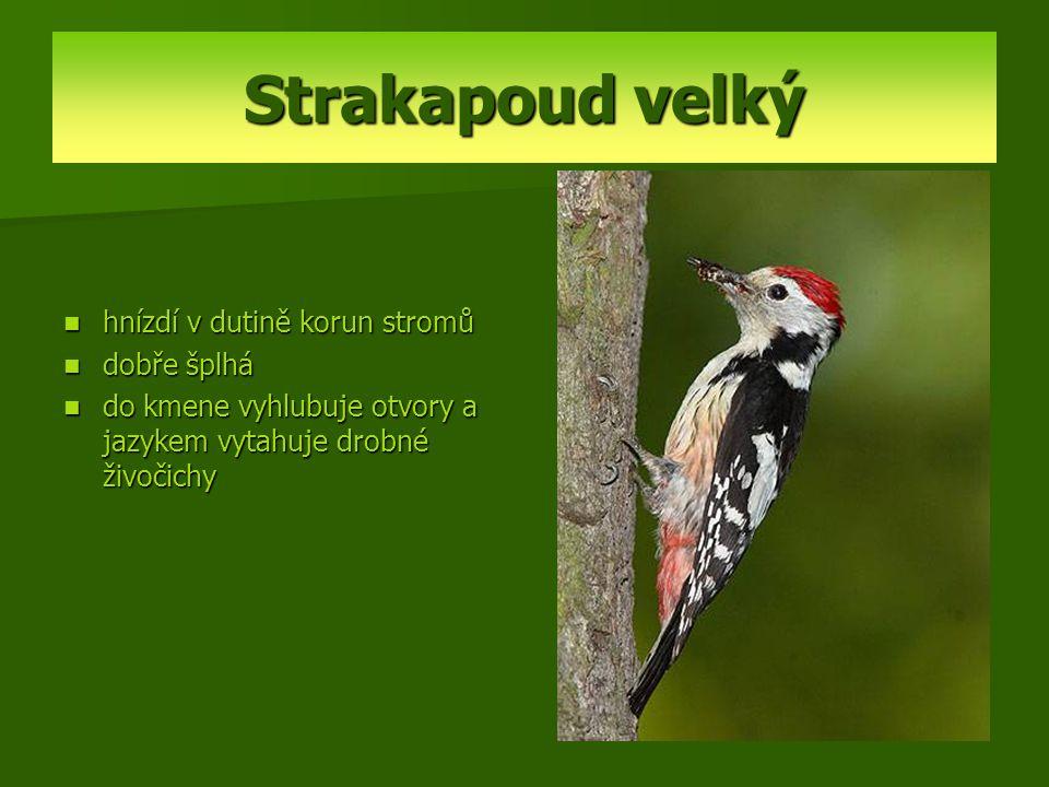 Strakapoud velký hnízdí v dutině korun stromů dobře šplhá do kmene vyhlubuje otvory a jazykem vytahuje drobné živočichy