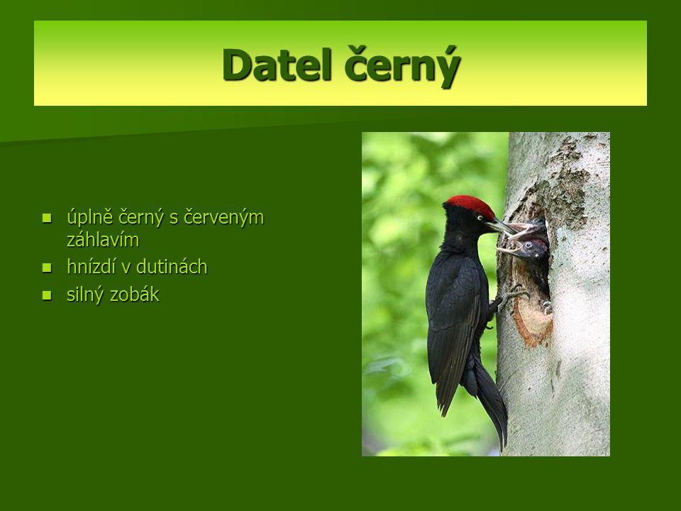 Datel černý úplně černý s červeným záhlavím hnízdí v dutinách silný zobák