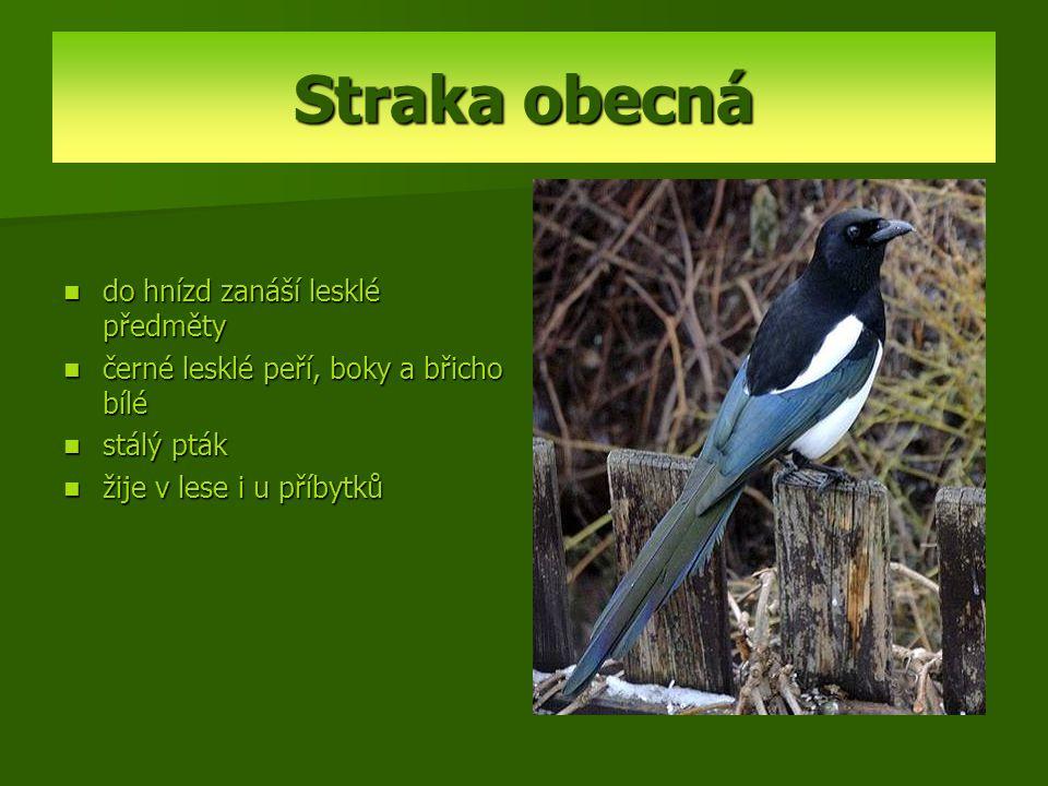 Straka obecná do hnízd zanáší lesklé předměty černé lesklé peří, boky a břicho bílé stálý pták žije v lese i u příbytků