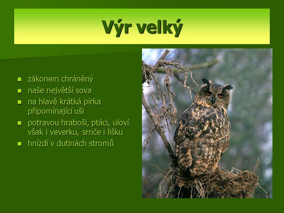 Výr velký zákonem chráněný naše největší sova na hlavě krátká pírka připomínající uši potravou hraboši, ptáci, uloví však i veverku, srnče i lišku hní