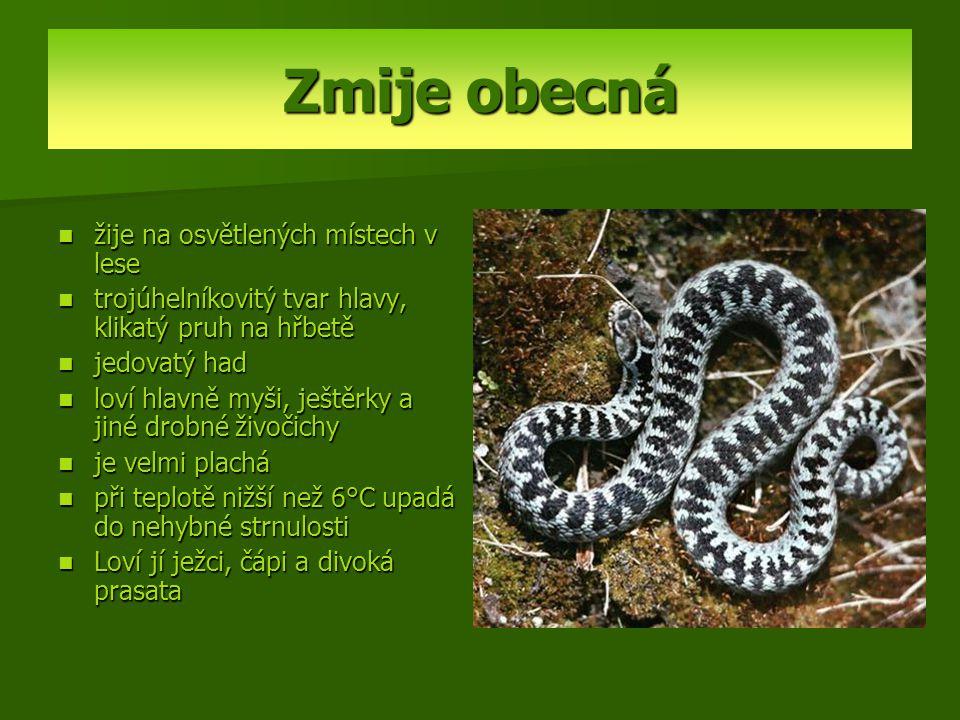 Zmije obecná žije na osvětlených místech v lese trojúhelníkovitý tvar hlavy, klikatý pruh na hřbetě jedovatý had loví hlavně myši, ještěrky a jiné dro