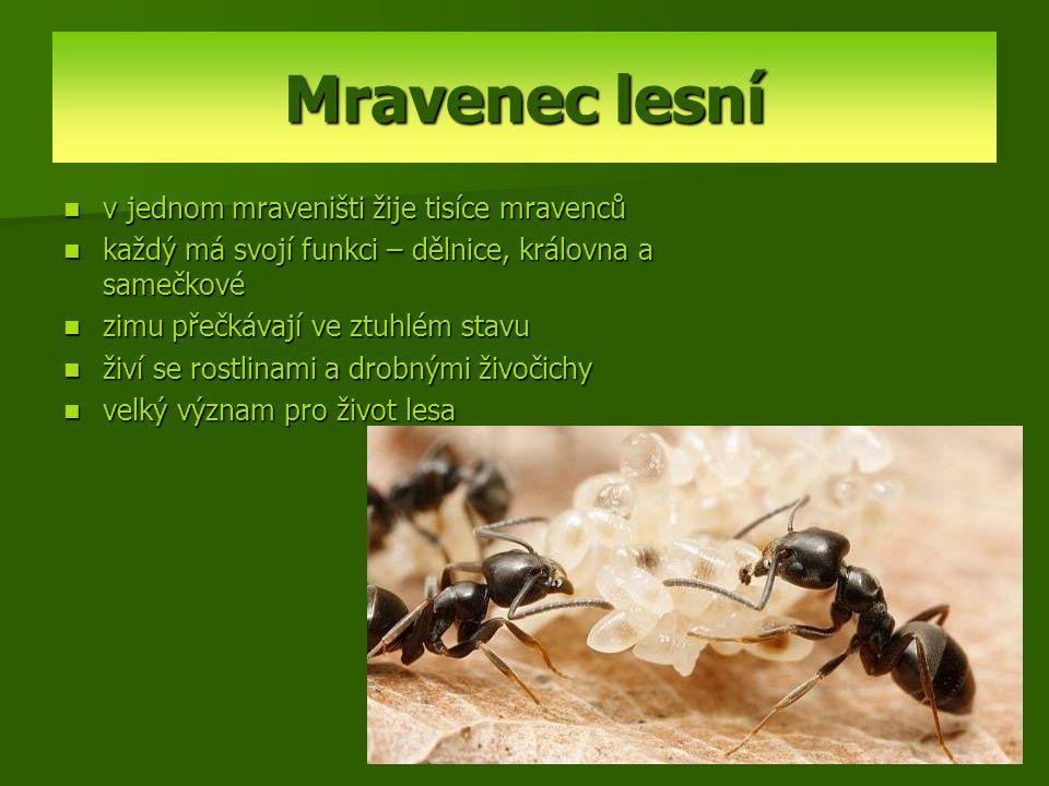 Mravenec lesní v jednom mraveništi žije tisíce mravenců každý má svojí funkci – dělnice, královna a samečkové zimu přečkávají ve ztuhlém stavu živí se