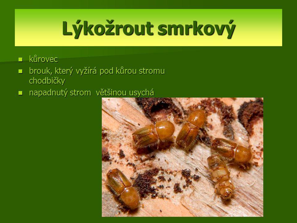 Lýkožrout smrkový kůrovec brouk, který vyžírá pod kůrou stromu chodbičky napadnutý strom většinou usychá