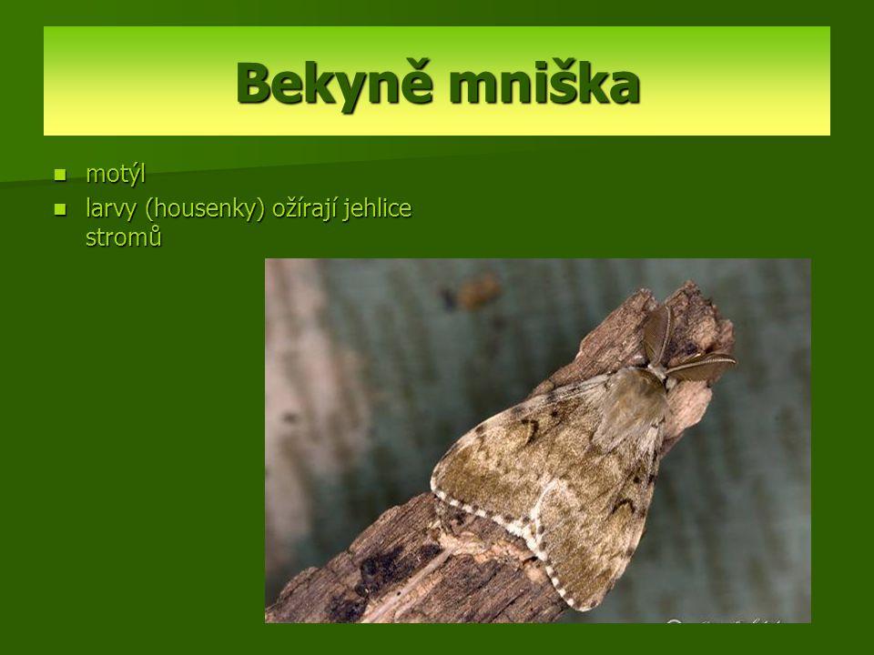 Bekyně mniška motýl larvy (housenky) ožírají jehlice stromů