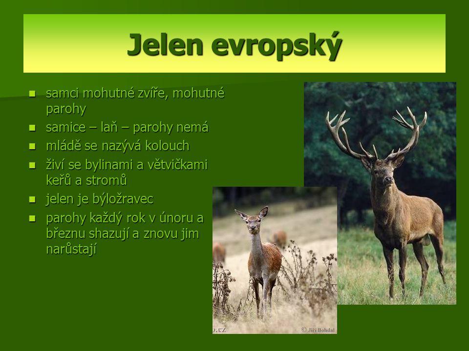 Jelen evropský samci mohutné zvíře, mohutné parohy samice – laň – parohy nemá mládě se nazývá kolouch živí se bylinami a větvičkami keřů a stromů jele