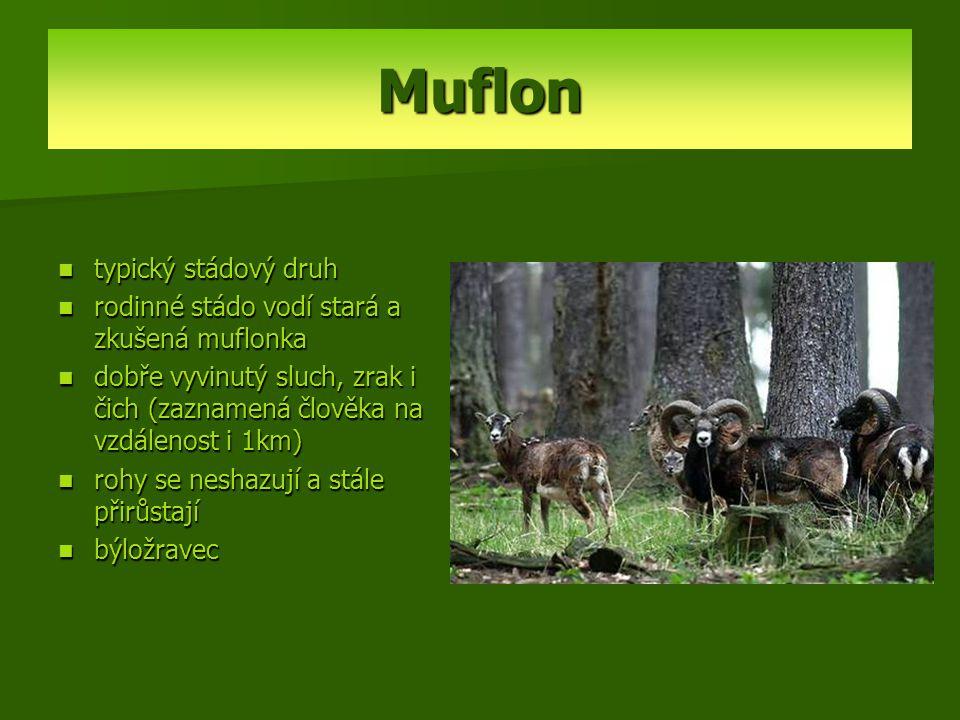 Muflon typický stádový druh rodinné stádo vodí stará a zkušená muflonka dobře vyvinutý sluch, zrak i čich (zaznamená člověka na vzdálenost i 1km) rohy