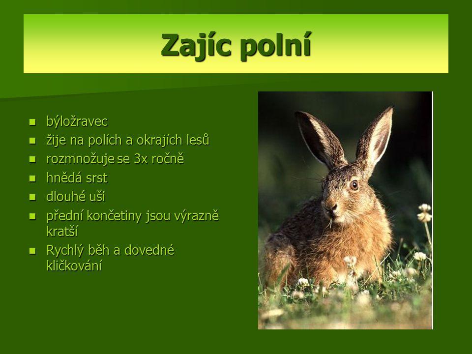Zajíc polní býložravec žije na polích a okrajích lesů rozmnožuje se 3x ročně hnědá srst dlouhé uši přední končetiny jsou výrazně kratší Rychlý běh a d