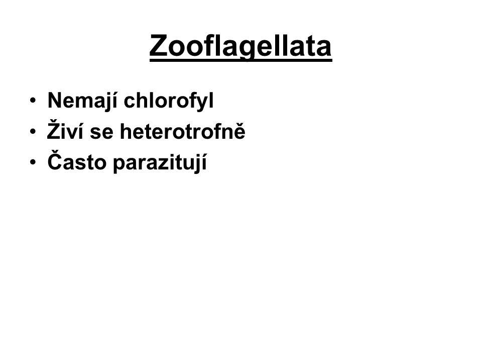 Zooflagellata Nemají chlorofyl Živí se heterotrofně Často parazitují