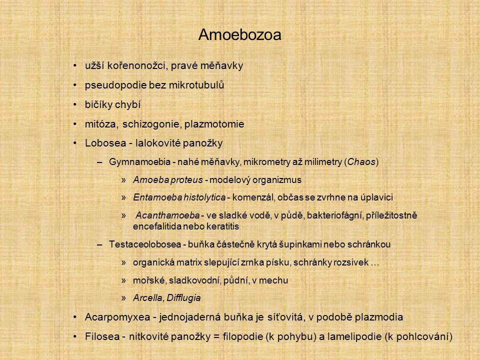 Amoebozoa užší kořenonožci, pravé měňavky pseudopodie bez mikrotubulů bičíky chybí mitóza, schizogonie, plazmotomie Lobosea - lalokovité panožky –Gymn