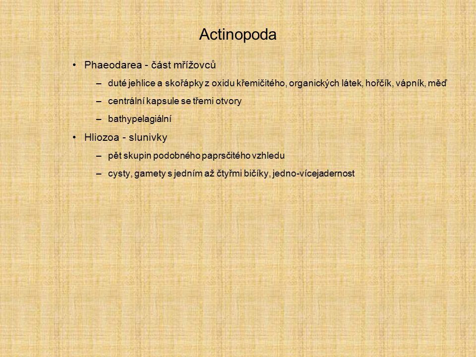 Actinopoda Phaeodarea - část mřížovců –duté jehlice a skořápky z oxidu křemičitého, organických látek, hořčík, vápník, měď –centrální kapsule se třemi