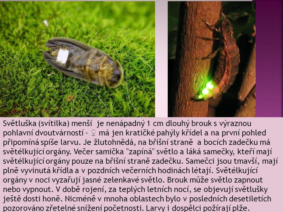 Světluška (svítilka) menší je nenápadný 1 cm dlouhý brouk s výraznou pohlavní dvoutvárností - ♀ má jen kratičké pahýly křídel a na první pohled připom