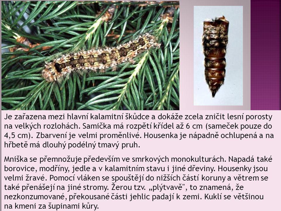 Je zařazena mezi hlavní kalamitní škůdce a dokáže zcela zničit lesní porosty na velkých rozlohách. Samička má rozpětí křídel až 6 cm (sameček pouze do