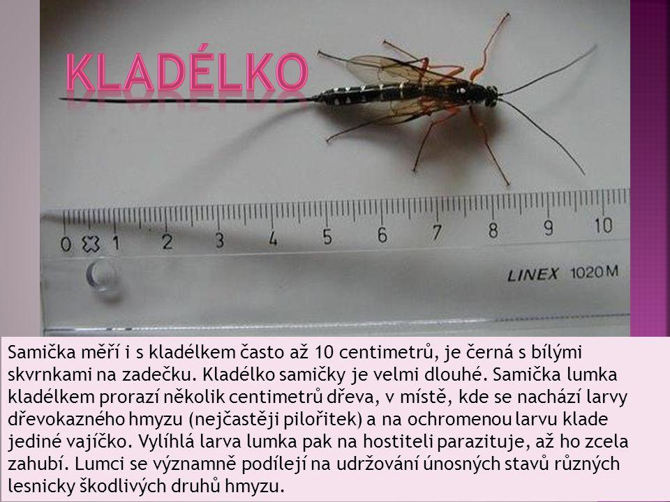 Samička měří i s kladélkem často až 10 centimetrů, je černá s bílými skvrnkami na zadečku. Kladélko samičky je velmi dlouhé. Samička lumka kladélkem p
