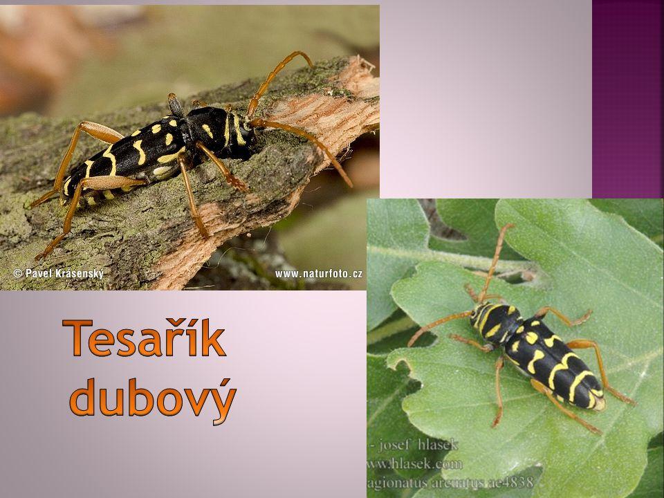 Tesařík dubový je druh tesaříka se žlutými příčnými proužky připomínajícími vosu.