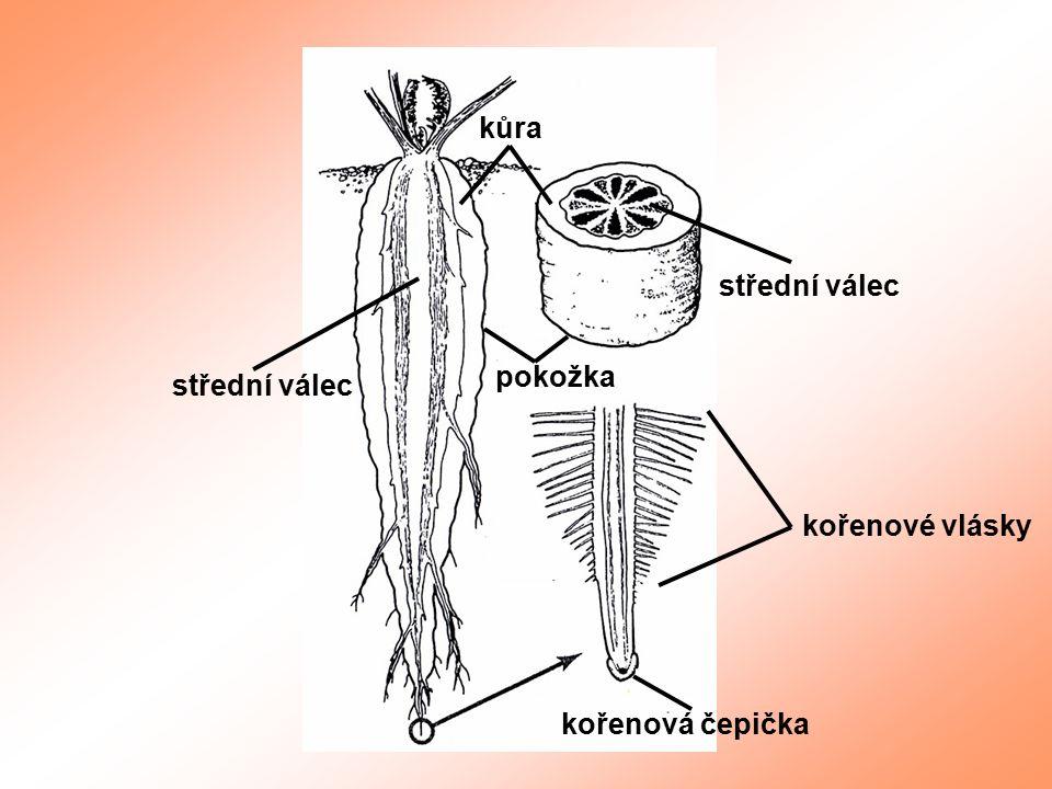 kůra pokožka střední válec kořenové vlásky kořenová čepička