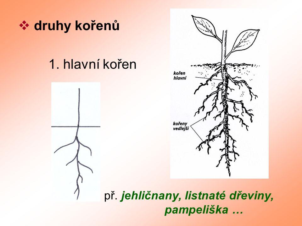  druhy kořenů 1. hlavní kořen př. jehličnany, listnaté dřeviny, pampeliška …