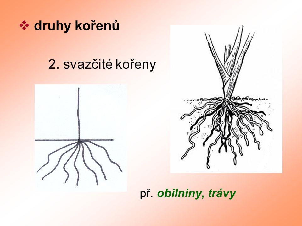  přeměny kořenů bulva kořen se zásobní funkcí – řepa kořenové hlízy kořen se zásobní a rozmnožovací funkcí – jiřina vzdušné kořeny k přijímání vzdušné vlhkosti – monstera příčepivé kořeny k přichycení k podkladu – břečťan parazitické kořeny k průniku do vodivých pletiv hostitelů - jmelí
