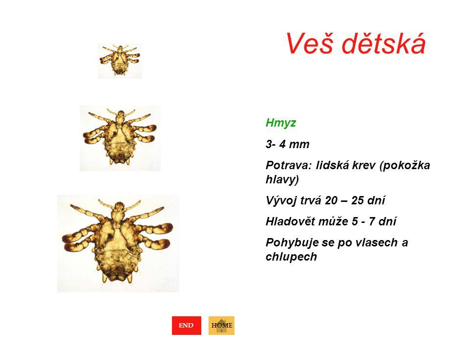 Veš dětská Hmyz 3- 4 mm Potrava: lidská krev (pokožka hlavy) Vývoj trvá 20 – 25 dní Hladovět může 5 - 7 dní Pohybuje se po vlasech a chlupech HOMEEND