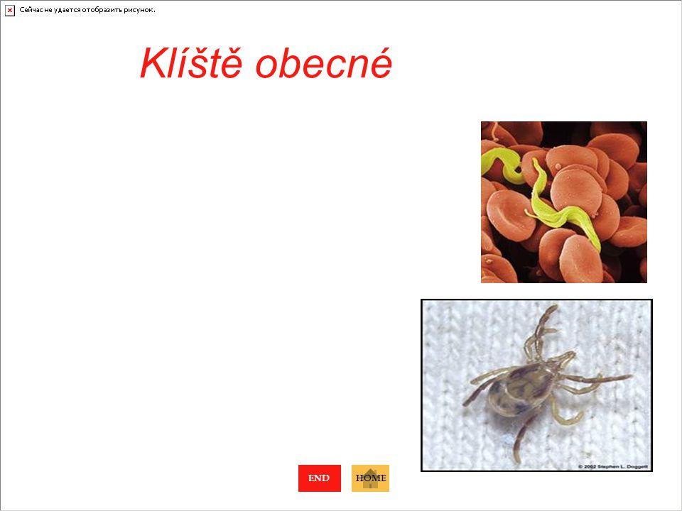 Škrkavka dětská Hlísti 100 - 300 mm Nachází se v tenkém střevě člověka 60 mil. vajíček Larvy provrtají plíce, aby byly spolknuty a dokončily vývoj Pře