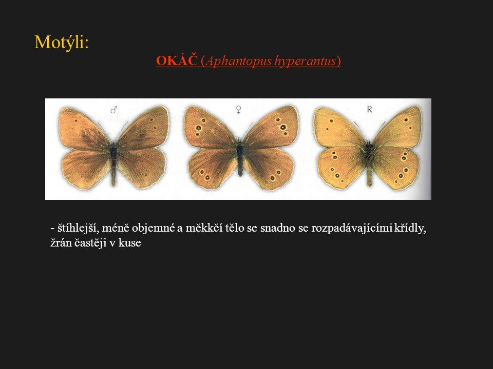 Motýli: - štíhlejší, méně objemné a měkkčí tělo se snadno se rozpadávajícími křídly, žrán častěji v kuse OKÁČ (Aphantopus hyperantus)
