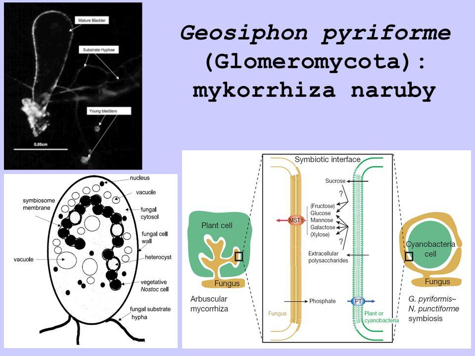 Geosiphon pyriforme (Glomeromycota): mykorrhiza naruby