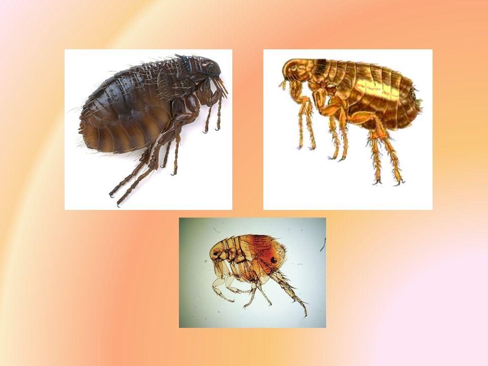 Vývoj Dokonalá proměna Samička se po páření živí krví (bílkoviny pro vytvoření vajíček) Až 500 vajíček Vývoj vajíček mezi 5-16 dny -> larvy (živí se organickými zbytky – zaschlá krev, výkaly dospělců) -> kokon