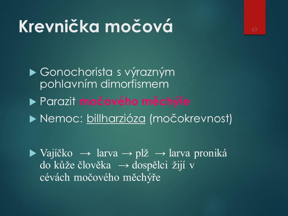 Krevnička močová  Gonochorista s výrazným pohlavním dimorfismem  Parazit močového měchýře  Nemoc: billharzióza (močokrevnost)  Vajíčko → larva → p