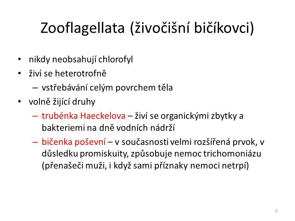Zooflagellata (živočišní bičíkovci) nikdy neobsahují chlorofyl živí se heterotrofně – vstřebávání celým povrchem těla volně žijící druhy – trubénka Ha